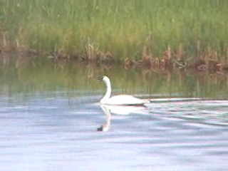 Trumpeter swan near Jackson Hole, Wyoming