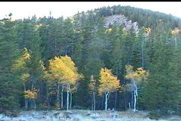Golden aspens in Yellowstone